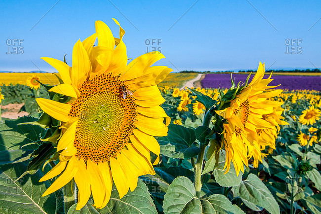 Plateau of Valensole, sunflowers