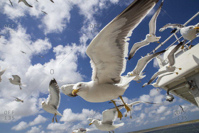 Gulls on the ferry to Texel Island