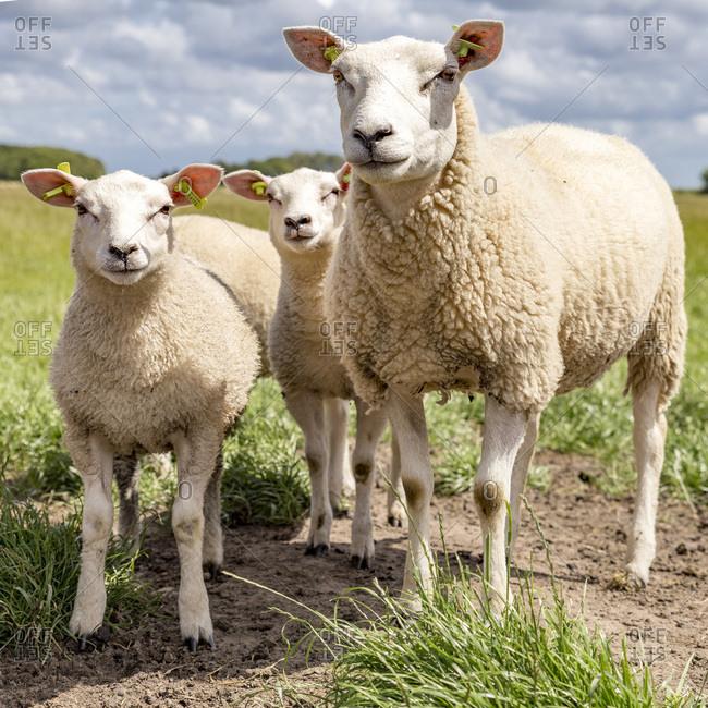 Sheep in Texel