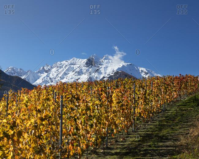 Vineyards with Grand Revers peak 2812 meters high