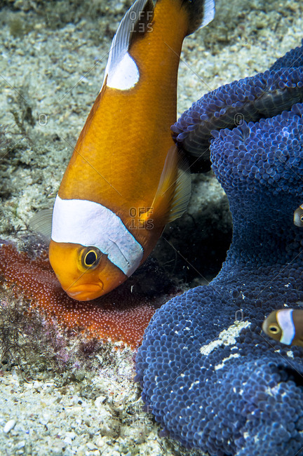 Clownfish with eggs. Clownfish or anemonefish are fishes from the subfamily Amphiprioninae in the family Pomacentridae. Thirty species are recognized.