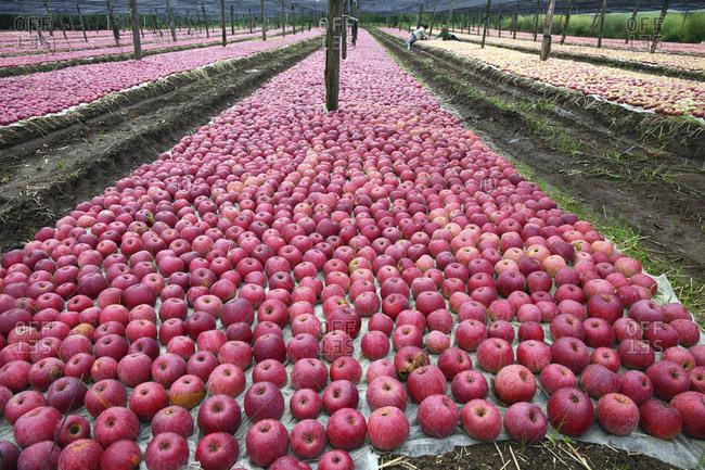 Mela Annurca (apple) typical fruit of Campania region