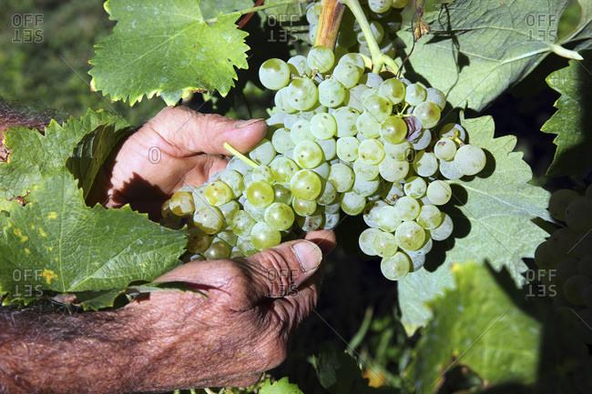 Italy, Campania, Avellino district, Irpinia, Avellino, Fiano grape