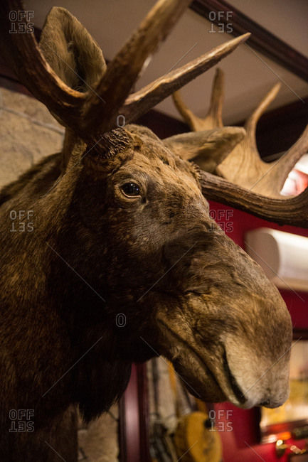 St. Petersburg, Russia - March 28, 2017: Moose head mounted on wall