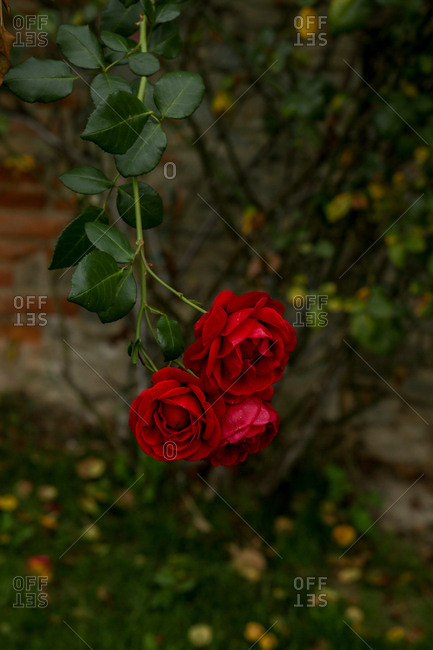 Roses hanging on a branch