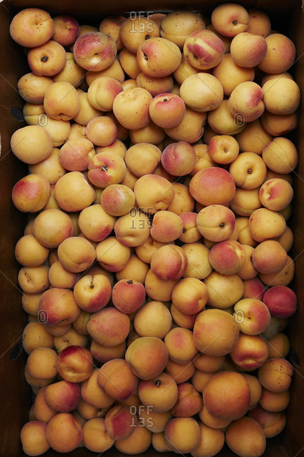 Box filled with fresh-picked apricots