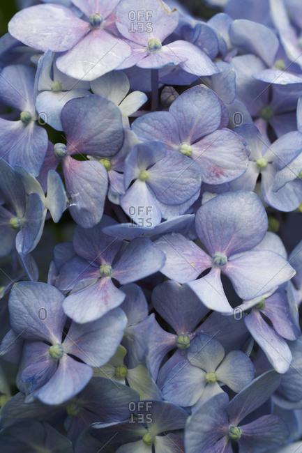 Close-up of petals of a blue hydrangea blossom