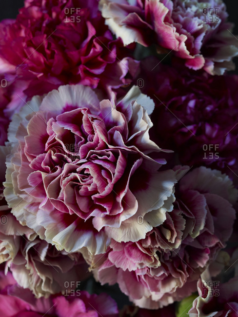Close-up of dark pink and white carnations
