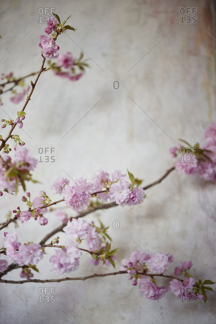 Branches of cherry blossoms with pink flowers