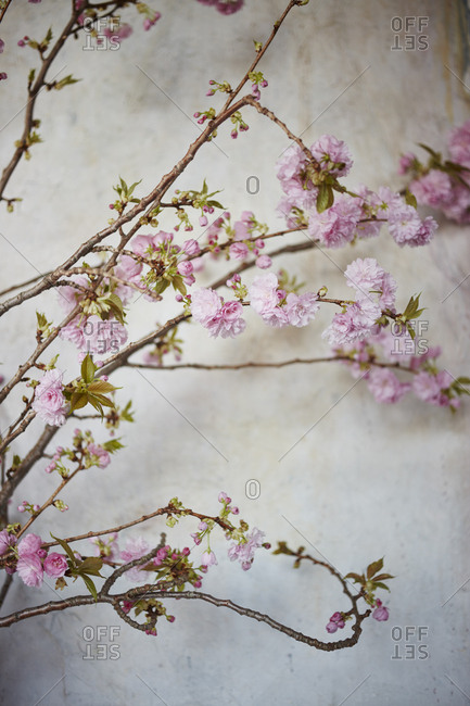 Cherry blossom branches with pink flowers