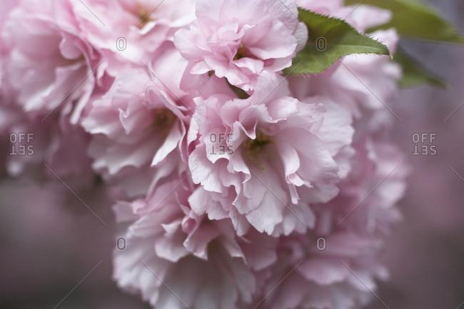 Close-up of cherry blossom flowers