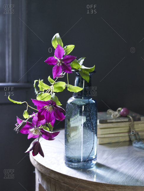 Bright purple clematis in a blue glass vase on a table