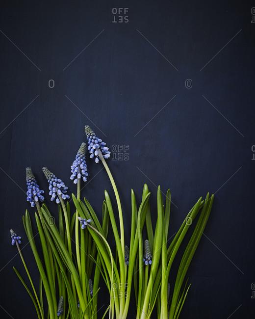 Grape hyacinths on black background