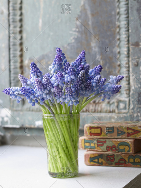 Bunch of grape hyacinths in glass vase