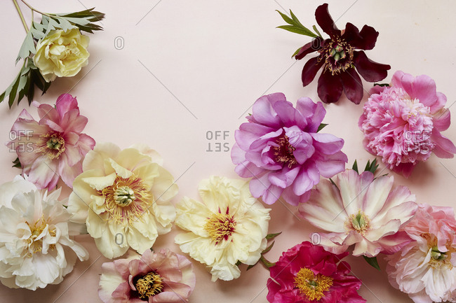 Colorful peonies arranged on pink background