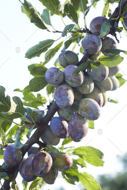Plums growing on a tree branch