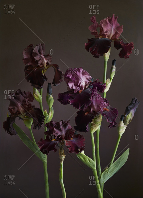 Dark red bearded irises