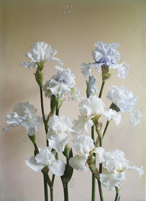 White and pale purple bearded irises