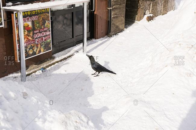 Sapporo, Japan - January 12, 2017: Crow on a snow covered sidewalk