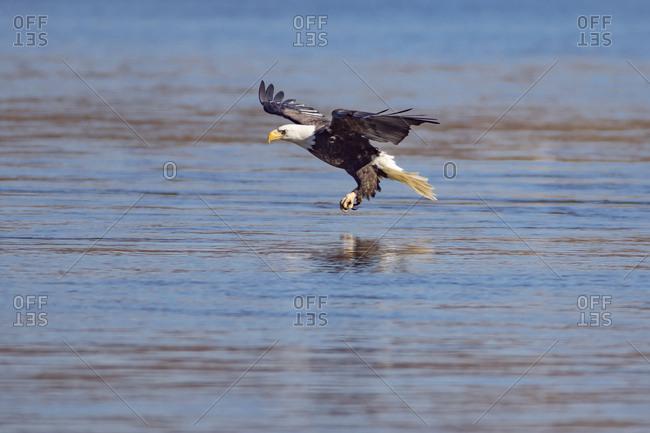 Bald eagle flying over lake