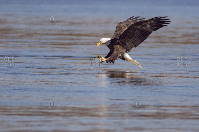 Side view of bald eagle flying over lake