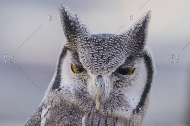 Close-up portrait of white-faced owl