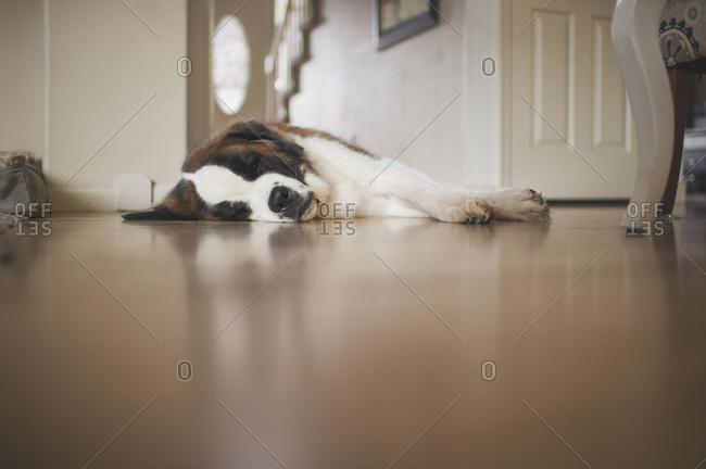 Saint Bernard sleeping on floor at home