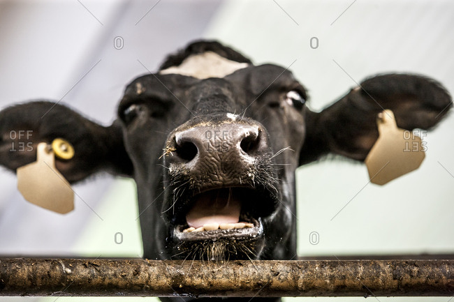 Low angle close-up of cow in dairy farm