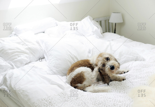 Dog on bed - Offset Collection