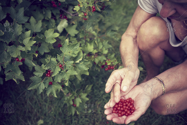 Woman picking red currants