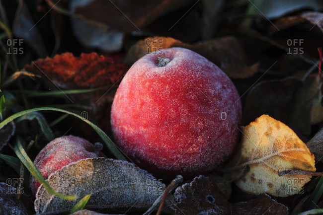 Frost on red apple