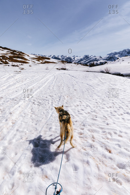 Back view of a dog pulling the sleds in a winter, Vertical outdoors shot,