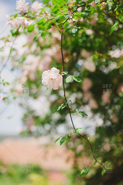 Close up of a blossom on a tree