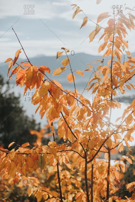 Fall leaves over coastal setting