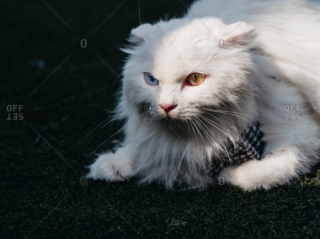 White cat with two different colored eyes