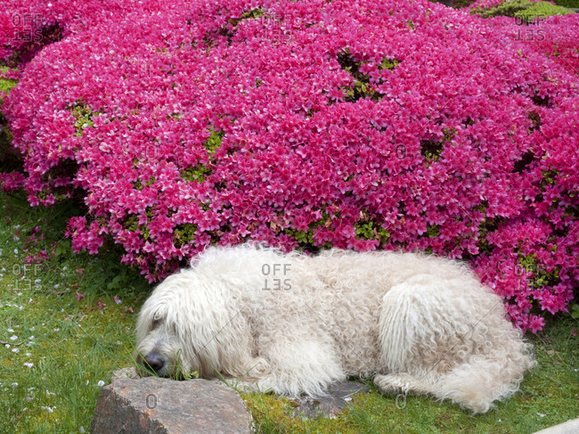 White dog sleeping next to azalea bush