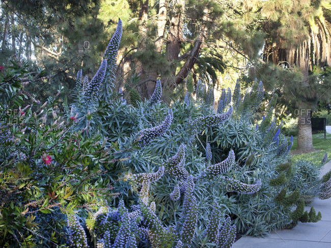 Echium bush growing in garden