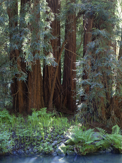 Redwood trees and ferns in Muir Woods