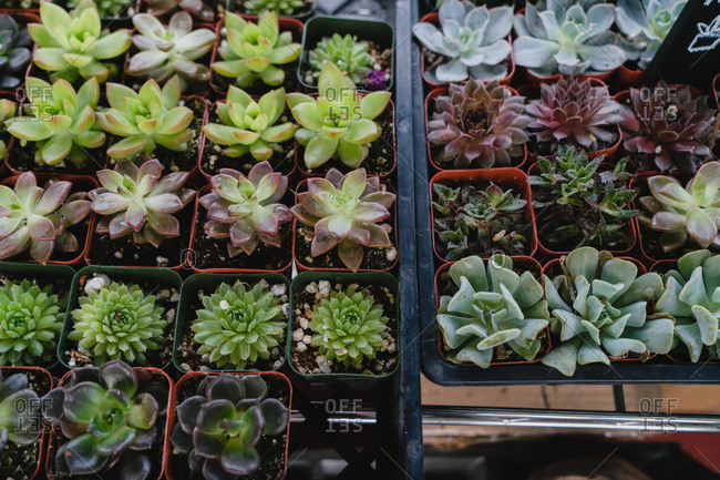Rows of succulent plants in pots