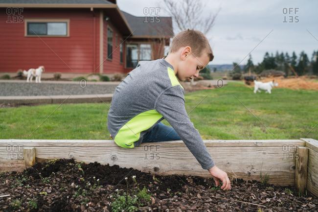 Boy weeding raised garden bed
