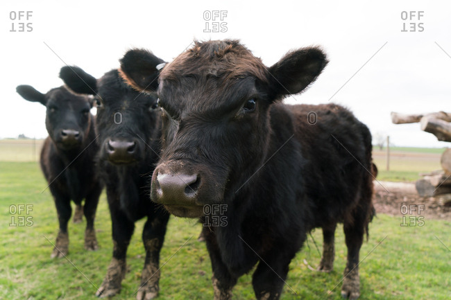 Portrait of three black cows