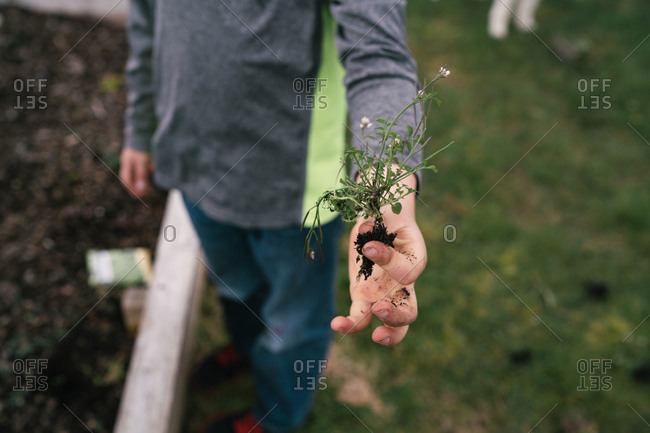 Close-up of a weed in child's hand