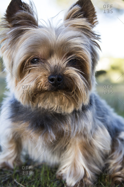 Portrait of Yorkshire Terrier sitting on meadow