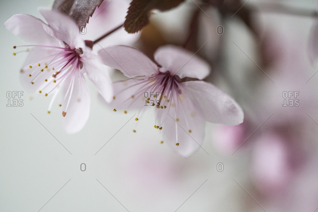 Close-up of blossoming apple tree