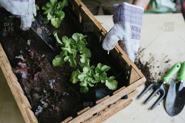 Person planting lettuce in a wooden box