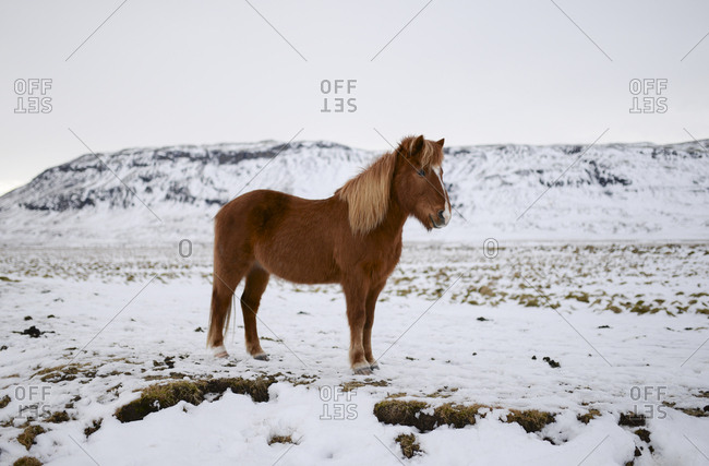 Iceland- Icelandic horse in snowy landscape