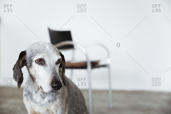Portrait of mongrel in an office