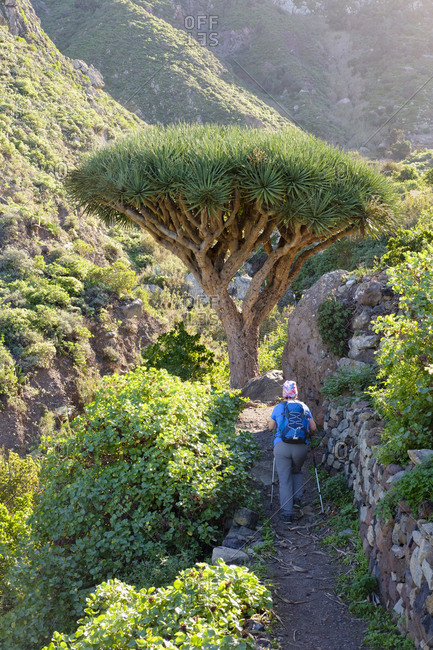 Spain- Canary islands- Tenerife- woman on hiking trail- Canary Islands Dragon Tree