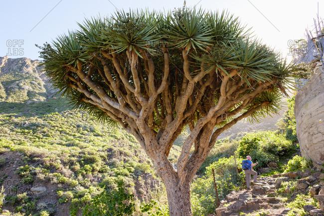 Spain- Canary islands- Tenerife- Canary Islands Dragon Tree