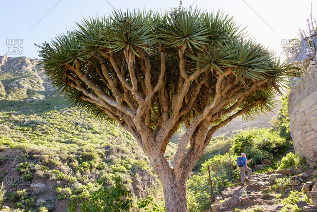 Spain- Canary islands- Tenerife- Canary Islands Dragon Tree